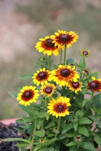 Love these small Black-Eyed Susan variants