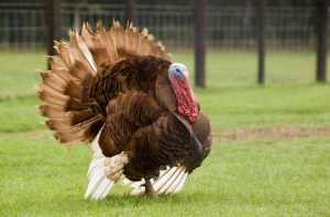 SOURCE: http://biologybiozine.com/bringing-heritage-breeds-back-to-the-thanksgiving-table/2093